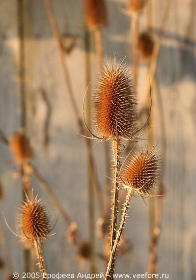 Колючее растение